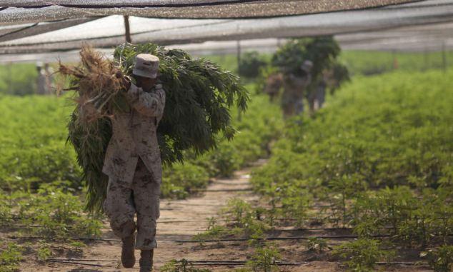 Niszczenie plantacji marihuany w meksyku