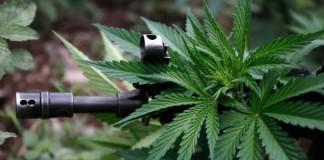 włoska armia i marihuana