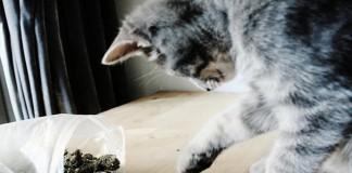 kot przyniósł marihuanę