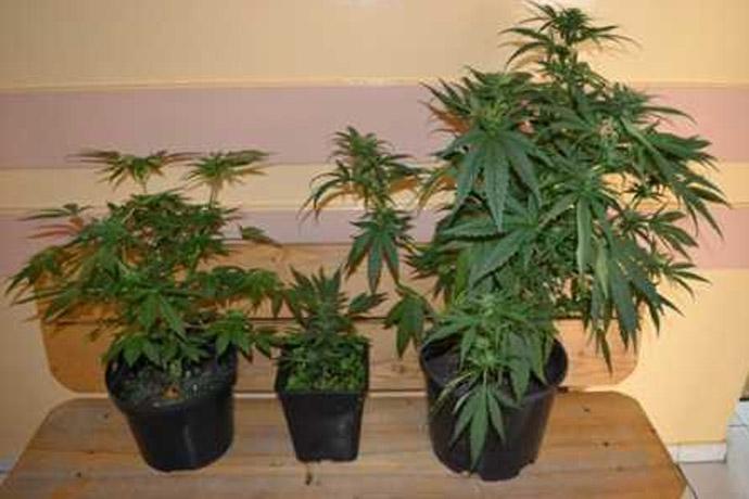 12 doniczek z marihuana