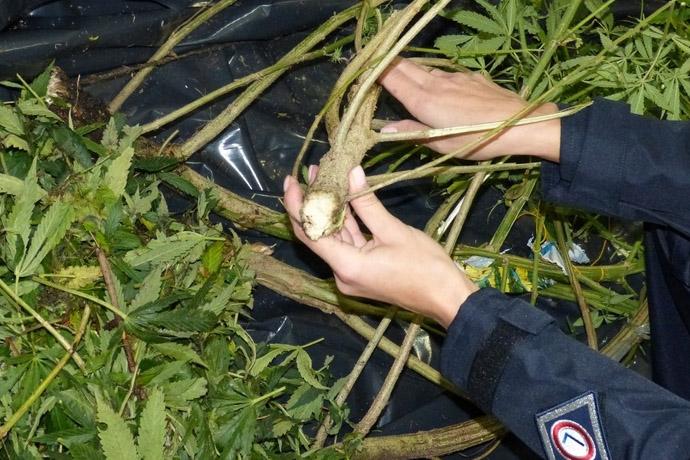 policja zarekwirowala krzewy uprawy konopi w lesie