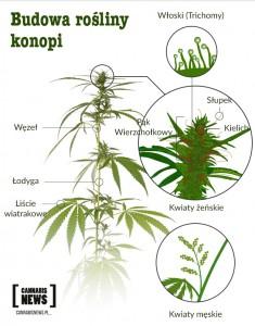 z czego składa sie marihuana