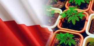 polskie plantacje marihuany
