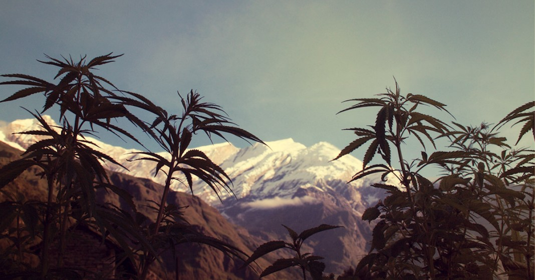 Himalajskie pola marihuany