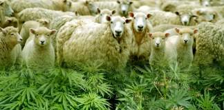 Owce zjadły konopie