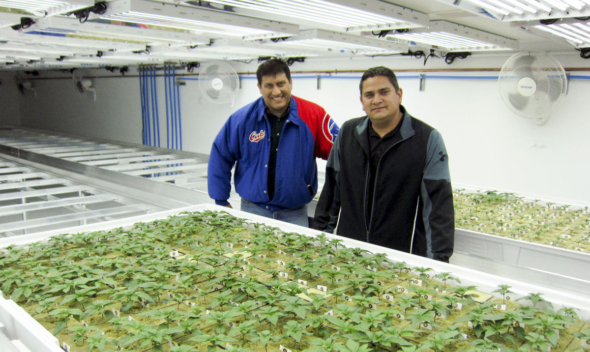 Plemię zakłada plantację marihuany