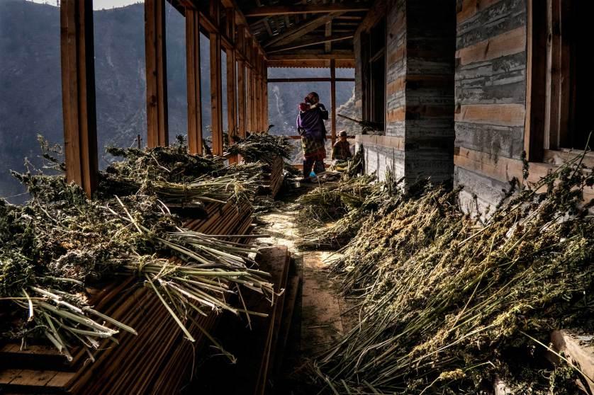 Himalajski rolnik przygotowuje haszysz