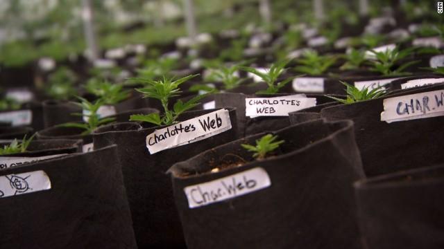 Badania nad medyczną marihuaną