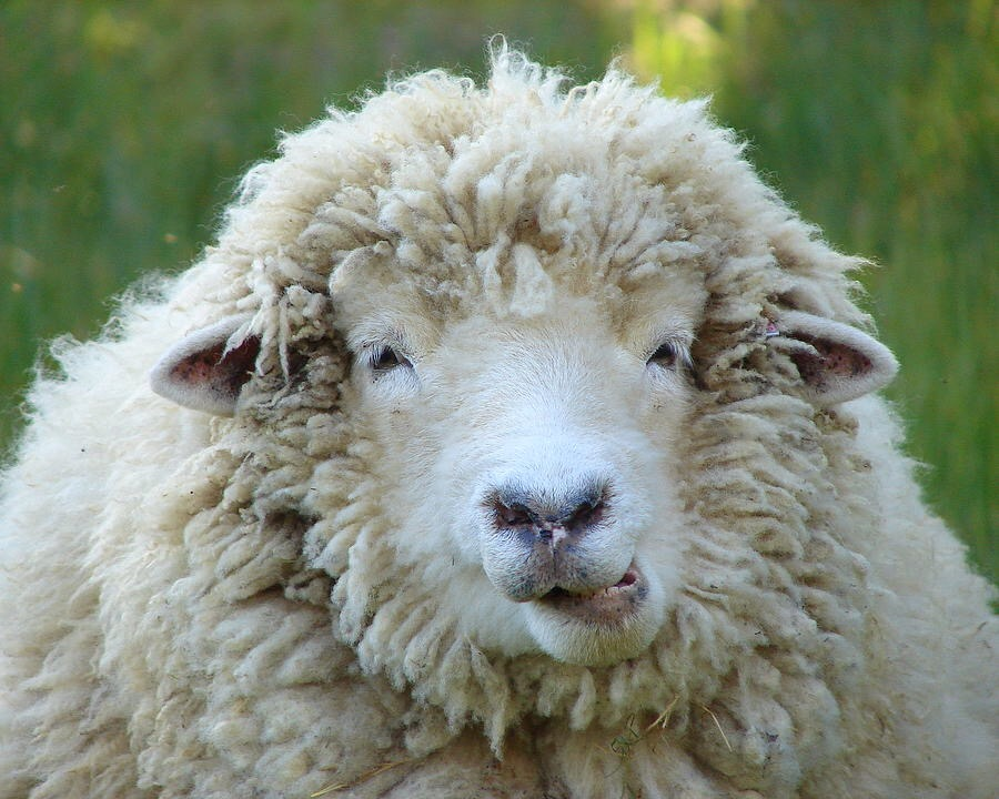 Owca na haju