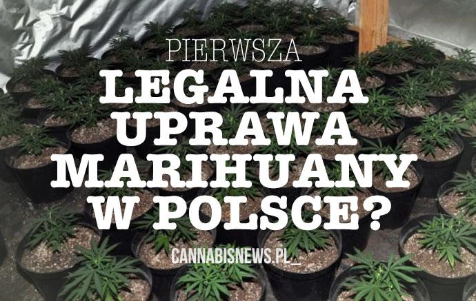 uprawa marihuany w polsce