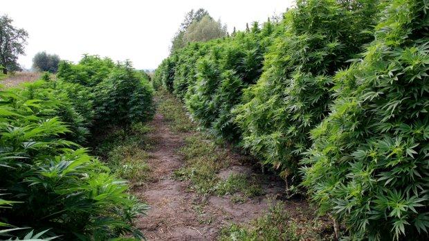 z16685243Q,marihuana