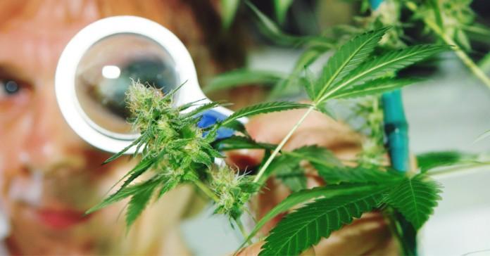 Świeże spojrzenie na marihuanę