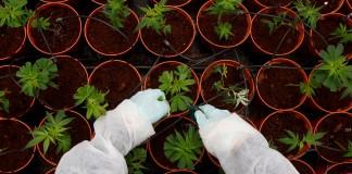 W USA latwiej o próbki marihuany