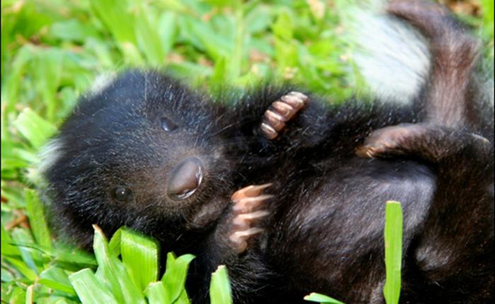 Skunks śmierdzi trawą?