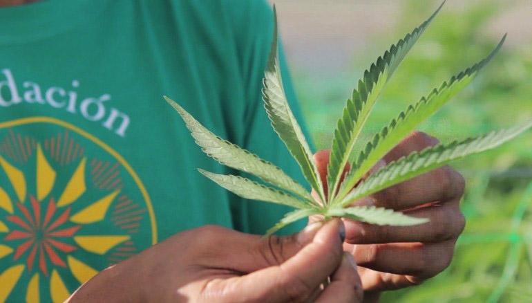 marihuana w Chile