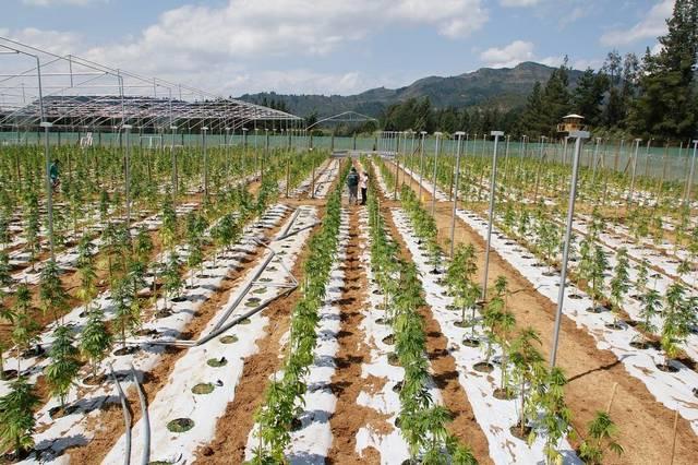 plantacja medycznej marihuany w Chile