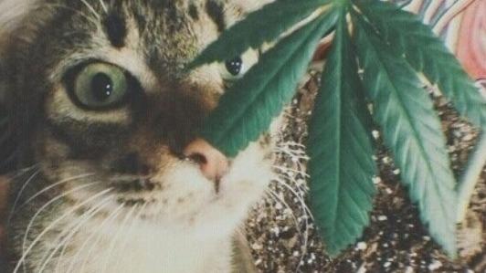 marihuana dla kota