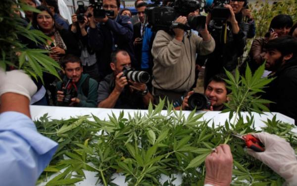 plantacja medycznej marihuany w Colbun