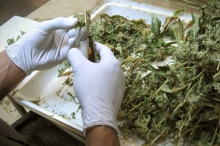 badania nad medycznymi właściwościami marihuany