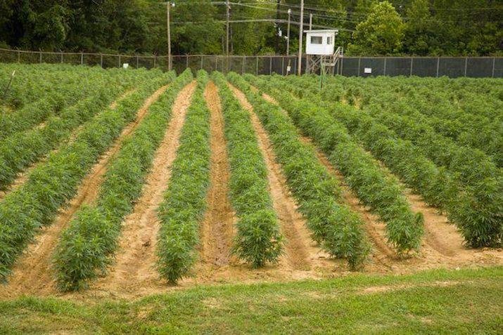 rządowa plantacja marihuany w mississipi