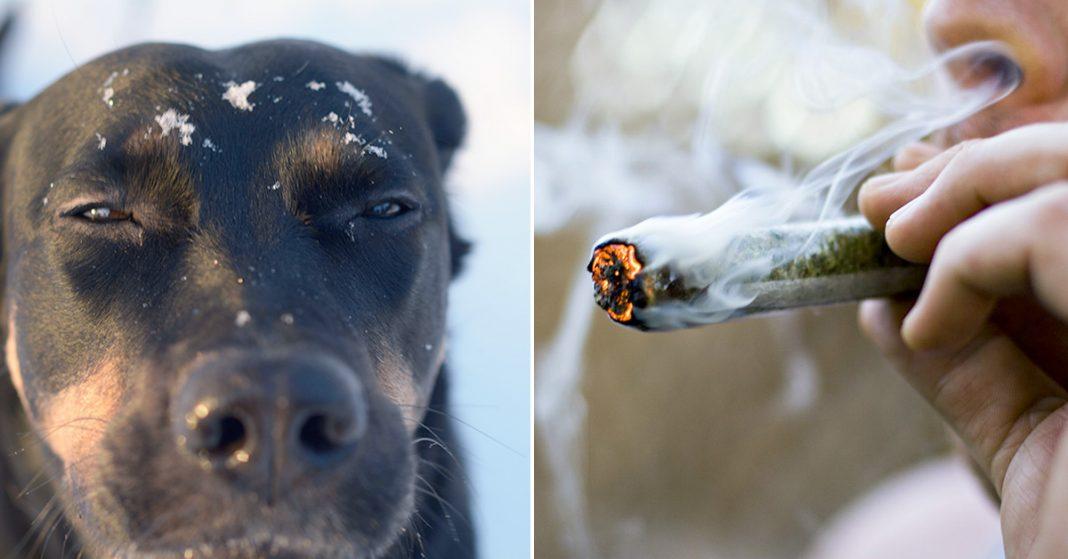 pies rozpoznaje kiedy jesteś na haju