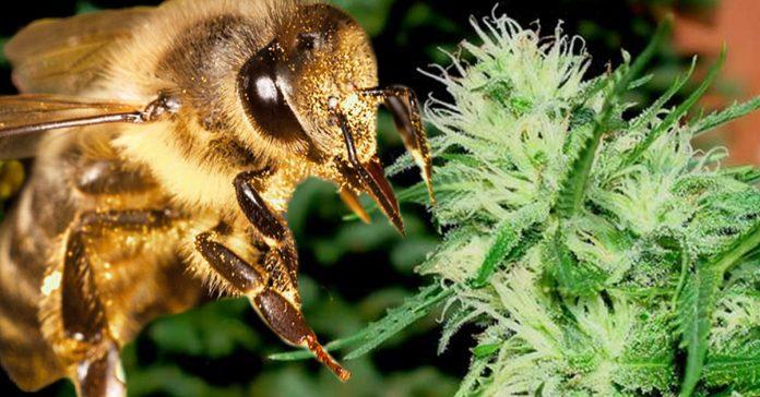 Pszczoły robiące konopny miód