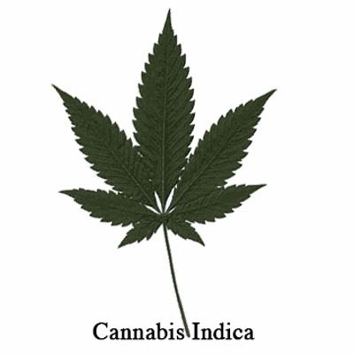 Cannabis Indica - Liść
