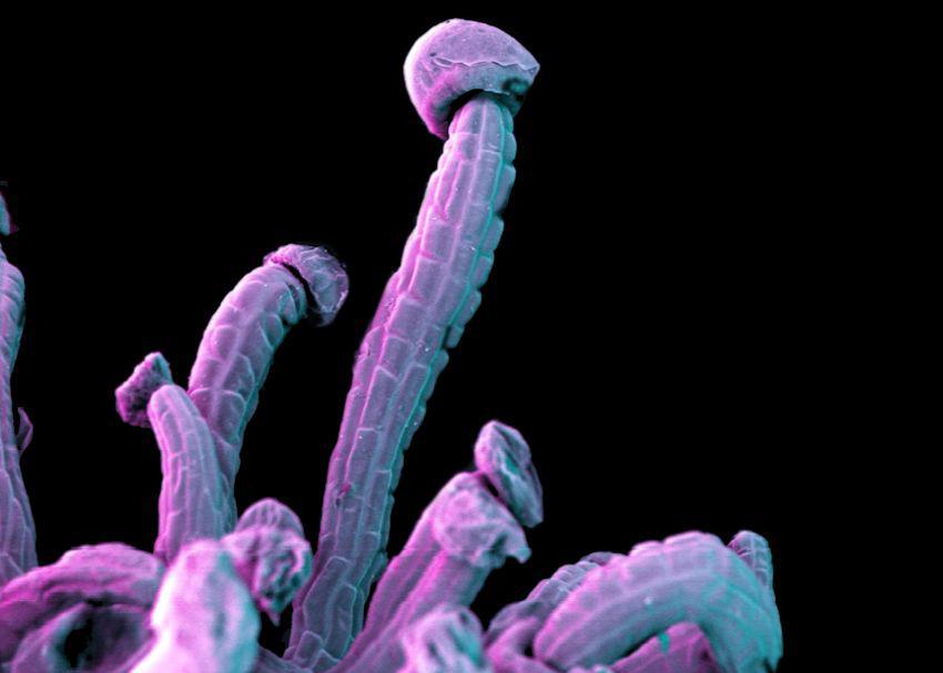 Niesamowite zdjęcia marihuany pod mikroskopem