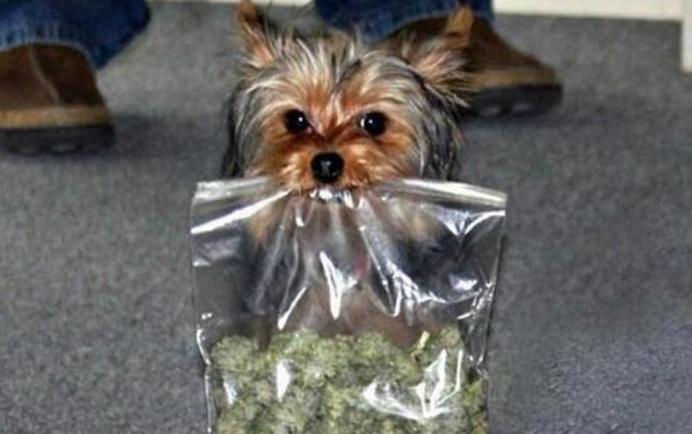 uprawa marihuany a psy