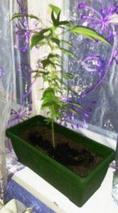 Krzak marihuany na parapecie