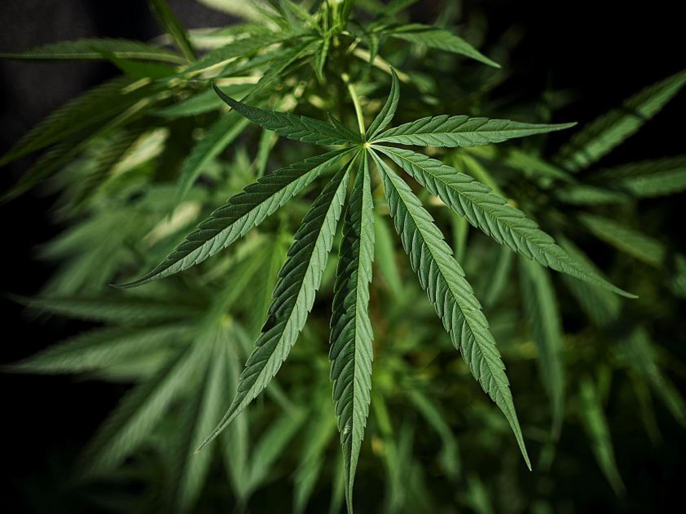 Tampon z marihuaną