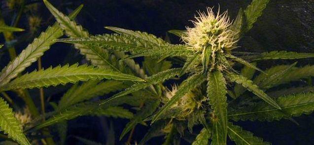 Medyczna marihuana w Polsce wyłącznie na receptę