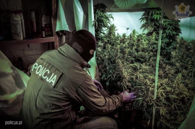 Hodowla marihuany w piwnicy