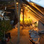 Plantacja marihuany w Lubiczu
