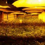 Przemyt marihuany w warzywach