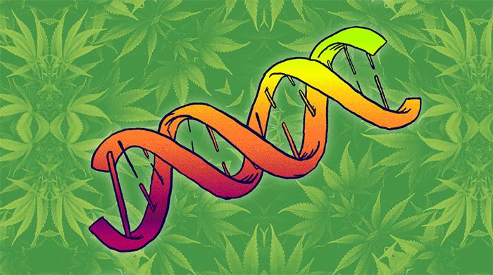 wplyw genow na efekty marihuany