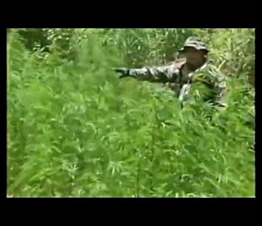 Boliwijskie Wojsko niszczy uprawę marihuany