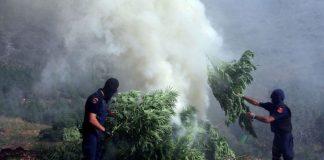 Gigantyczne ognisko z marihuany