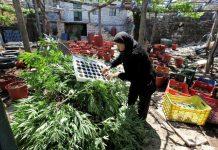 Marihuana z Albanii