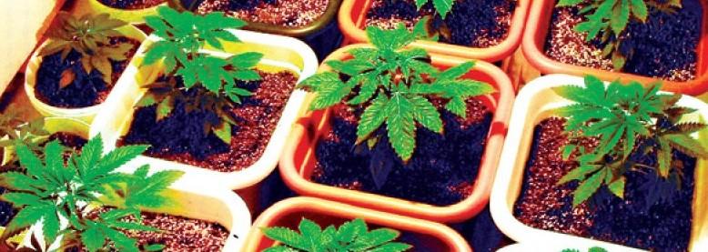Domowa uprawa marihuany