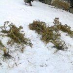 Plantacja marihuany w Horbowie
