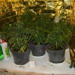 Hodowla marihuany ukryta w szafie