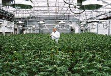 Uprawa marihuany w Holandii na dużą skalę