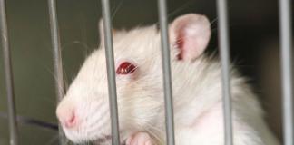 Wytrenowali mysz, by... szmuglowała marihuanę w więzieniu!