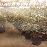 Plantacja marihuany pod Skierniewicami