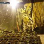 krzaki marihuany w Jeleniej Górze