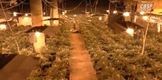 Największa plantacja marihuany w Polsce