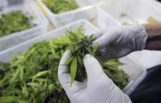 Medyczna marihuana w Polsce