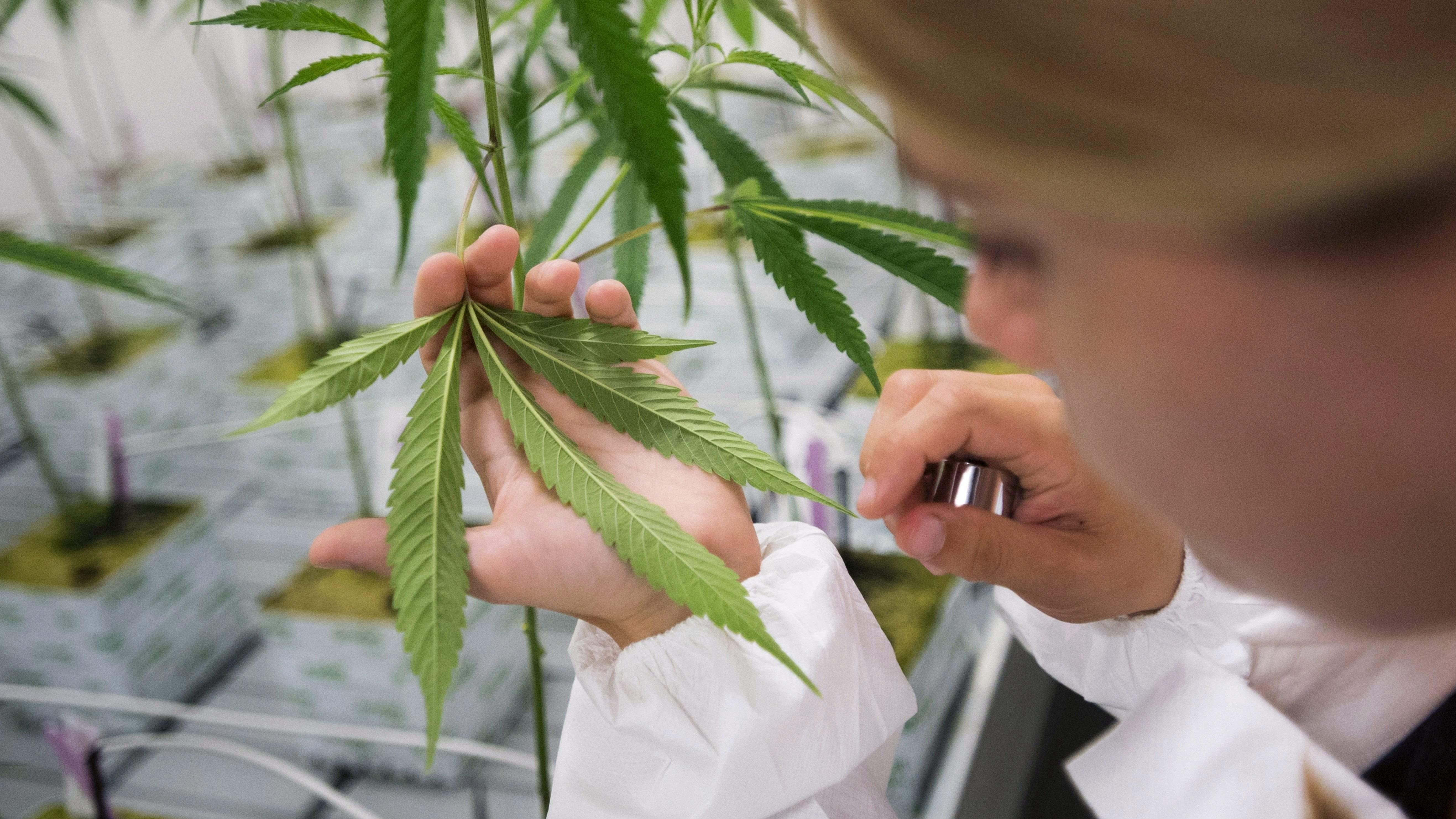 Konstanty Radziwiłł o medycznej marihuanie
