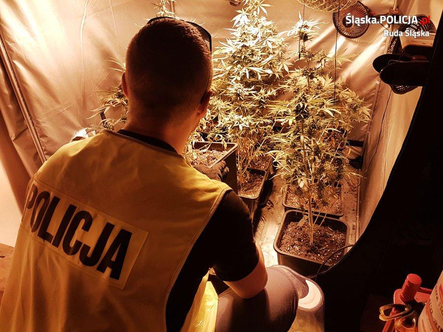 Uprawa marihuany w szambie w Mikołowie
